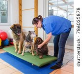 Small photo of a Leonberger, an Australian Cattledog and a Havanese are sitting on a wobble board in an animal physiotherapy office