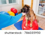 woman works with a leonberger... | Shutterstock . vector #786035950