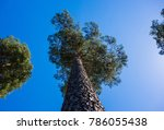 looking up along trunk of tall... | Shutterstock . vector #786055438