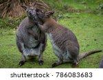 kangaroo sharing some secret  ... | Shutterstock . vector #786083683