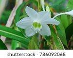 eucharis spp. single shoots are ... | Shutterstock . vector #786092068