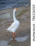 Large White Goose