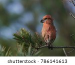 parrot crossbill in its natural ... | Shutterstock . vector #786141613