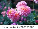 Dahlia Flower Pink Dahlia...