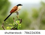 burchell's coucal sitting on a...   Shutterstock . vector #786226306