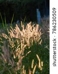 Images of Pennisetum pedicellatum Trin when sunlight and wind blows, which as the background.