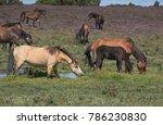 Herd Of Semi Wild Ponies...