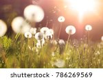 Fluffy Dandelions Glow In The...