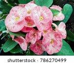 closeup poi sian flowers pink... | Shutterstock . vector #786270499
