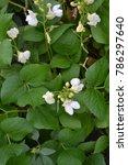 beans. phaseolus. garden. field.... | Shutterstock . vector #786297640
