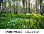 Sunny Camomile Glade In Birch...