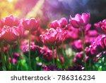 Tulip Background. Purple Flowe...