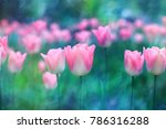 Tulip Background. Pink Flower...