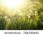 beautiful flowers of daffodils... | Shutterstock . vector #786330643