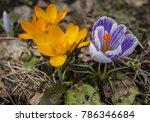 Spring Flowers Crocuses Are...