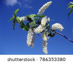 Stock photo bird cherry native to northern europe and northern asia closeup of bird cherry brightly backlit 786353380