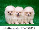 Stock photo funny puppies on a green background puppies of the spitz christmas card with dogs 786354019