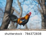colorful cock on the fence. red ... | Shutterstock . vector #786372838