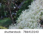 Euphorbia Leucocephala Lotsy ...