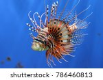 Lion Fish Beautiful