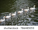 A Fleet Of White Ducks Swimmin...