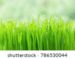 green wheat grass with dew drops | Shutterstock . vector #786530044