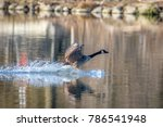 Canada Goose Landing On A Pond...