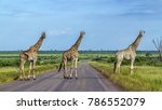 Giraffe In Kruger National Park ...