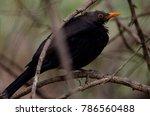 Blackbird  Turdus Merula...