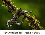 cloudy snail sucker  sibon... | Shutterstock . vector #786571498