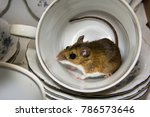 Small photo of Side view of a house mouse inside of a porcelain cup in a kitchen cabinet. Stacks of blue and white china can be seen in the background. This could be a filthy sight in anyone's pantry.