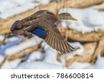 Small photo of American Black Duck