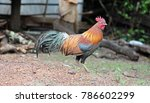 colorful rooster strutting | Shutterstock . vector #786602299