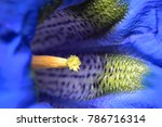 Small photo of Macro of an alpine Gentian flower