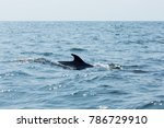 bryde's whale  eden's whale ... | Shutterstock . vector #786729910