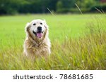 Stock photo a beautiful old female golden retriever taking a break sat in a field whilst out for a walk in 78681685