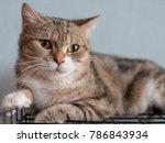 Close Up Down Tabby Cat Lying...