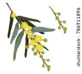 wattle flowering vector... | Shutterstock .eps vector #786911896
