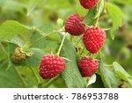 ripe branch of raspberry on... | Shutterstock . vector #786953788