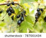 wild golden currant. small or... | Shutterstock . vector #787001434