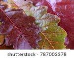 autumn oak leaves | Shutterstock . vector #787003378