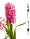 Spring Pink Hyacinth Flower On...