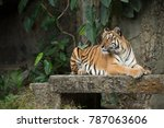 tiger looking for something | Shutterstock . vector #787063606