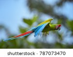 Great Green Macaw  Ara Ambiguu...