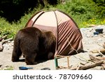 Grizzly Bear In A Campsite