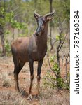 Small photo of solitary red hartebeest, Alcelaphus buselaphus standing in the bush and grass landscape