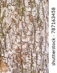 Small photo of Bark of the common Field Maple tree (Acer campestre)