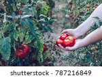 homegrown red fresh tomato in a ... | Shutterstock . vector #787216849