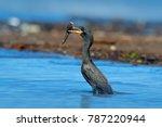 cormorant with fish. dark bird...   Shutterstock . vector #787220944