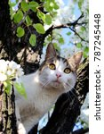 Stock photo cat in spring portrait cat in spring tree blooming beautiful spring day cat looking from branch 787245448
